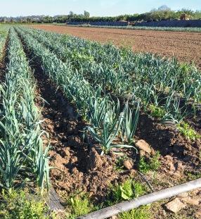farm-tour-leek-rows-hedoesxrayidofood