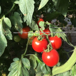 farm-tour-tomatoes-on-vine-hedoesxrayidofood-com