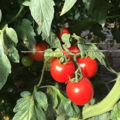 farm-tour-tomatoes-on-vine-hedoesxrayidofood-com